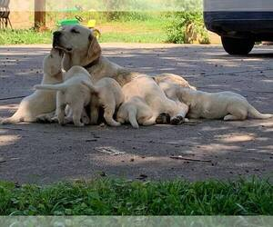 Labrador Retriever Litter for sale in WARSAW, OH, USA