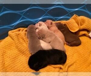 Chinese Shar-Pei Litter for sale in GARNER, NC, USA