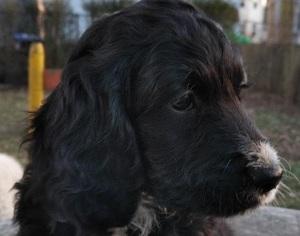 Puppyfinder com: Springerdoodle puppies puppies for sale in USA