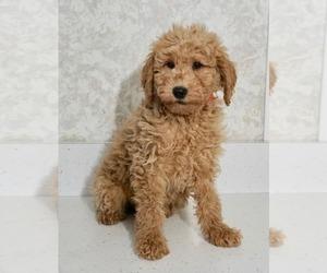 Medium Labradoodle-Poodle (Miniature) Mix