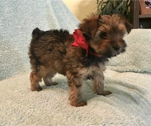 Yorkshire Terrier Litter for sale in LA VERNIA, TX, USA