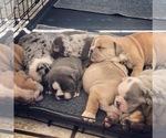 Olde English Bulldogge Puppy For Sale in WALTERBORO, SC, USA