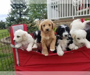 Aussiedoodle Litter for sale in ALLEGRE, KY, USA