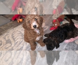 Bernedoodle Litter for sale in WATERFORD, NY, USA