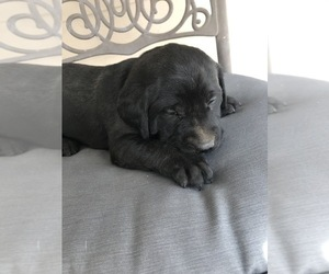 Labrador Retriever Litter for sale in DELTA, CO, USA