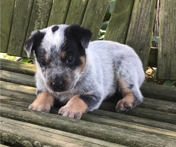 Medium Photo #1 Australian Cattle Dog Puppy For Sale in AUGSBURG, IL, USA