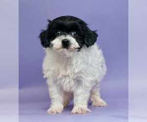 Shih Tzu-Yorkie-Poo Mix Litter for sale in WARSAW, IN, USA