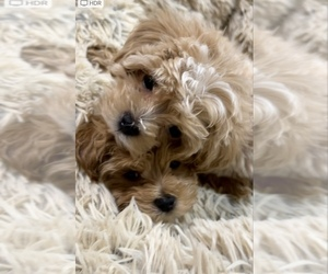 Maltipoo Litter for sale in STATEN ISLAND, NY, USA