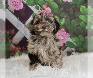 Schnoodle (Miniature) Litter for sale in WARSAW, IN, USA