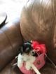 Biewer Terrier Puppy For Sale in TUCSON, AZ, USA