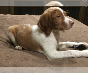 Brittany Litter for sale in PARSONS, TN, USA
