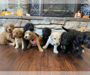 Goldendoodle Litter for sale in FREDERICA, DE, USA