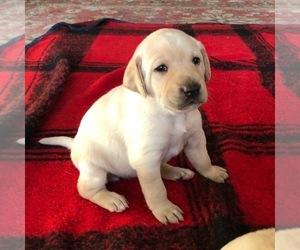 Labrador Retriever Litter for sale in DALLAS, OR, USA