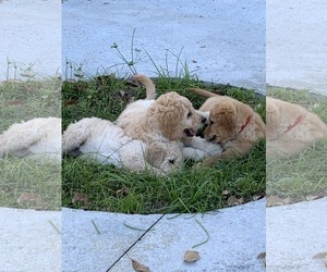 Goldendoodle Litter for sale in MYAKKA CITY, FL, USA