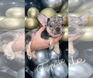 French Bulldog Litter for sale in BELLVIEW, TX, USA