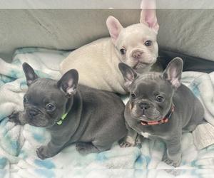 French Bulldog Litter for sale in LILBURN, GA, USA