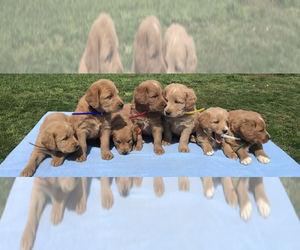Labradoodle Litter for sale in BOWLING GREEN, KY, USA