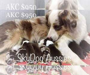 Australian Shepherd Litter for sale in ELIZABETH, CO, USA