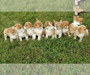 Pembroke Welsh Corgi Litter for sale in SUGARCREEK, OH, USA