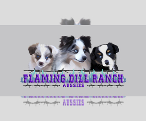 Miniature Australian Shepherd Litter for sale in FORESTBURG, TX, USA