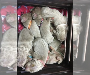 Weimaraner Litter for sale in FITZGERALD, GA, USA