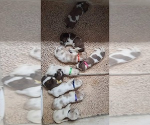 Basset Hound Litter for sale in RED BAY, AL, USA