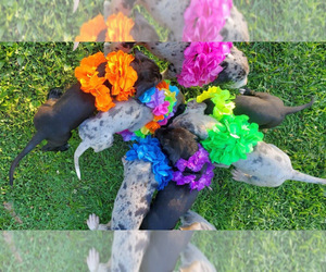 Great Dane Litter for sale in JACKSONVILLE, IL, USA