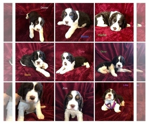 English Springer Spaniel Litter for sale in LULING, TX, USA