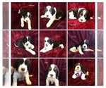 Small English Springer Spaniel
