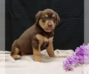 German Shepherd Dog-Labrador Retriever Mix Litter for sale in SUGARCREEK, OH, USA