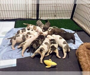 American Bully Litter for sale in PORT RICHEY, FL, USA