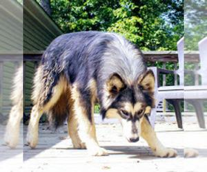 Wolf Hybrid Litter for sale in BYBEE, TN, USA
