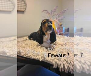Basset Artesian Normand Litter for sale in FRESNO, CA, USA