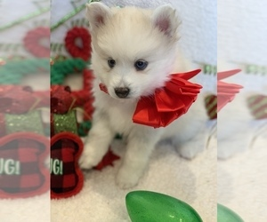 Pomsky Litter for sale in GLENDALE, CA, USA