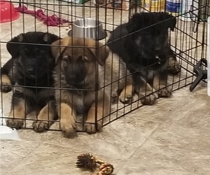 German Shepherd Dog Litter for sale in MELBOURNE, FL, USA