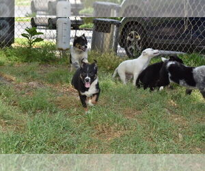 Australian Cattle Dog-Border Collie Mix Litter for sale in RIVERDALE, MD, USA