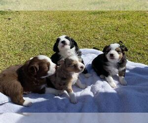 Miniature Australian Shepherd Litter for sale in LANDRUM, SC, USA