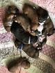 Boxer Puppy For Sale in FREDERICKSBURG, VA, USA