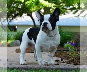 French Bulldog Litter for sale in NAPPANEE, IN, USA