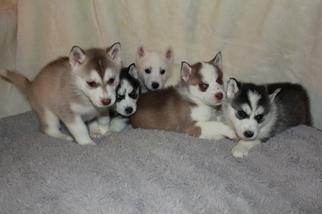 Alaskan Husky-Pomeranian Mix Litter for sale in SEVERN, MD, USA