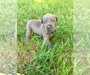 Cane Corso Litter for sale in CORNELIA, GA, USA