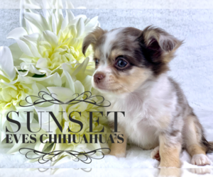 Chihuahua Litter for sale in FLOWERY BR, GA, USA