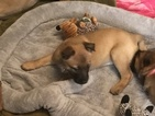 Belgian Malinois Puppy For Sale in JUNCTION, TX, USA