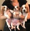 Basset Hound Puppy For Sale in ESCONDIDO, CA, USA
