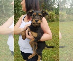 Yorkshire Terrier Litter for sale in MELBOURNE, FL, USA