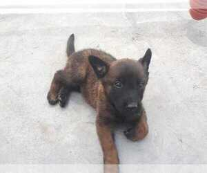 Belgian Malinois Litter for sale in SAN DIEGO, CA, USA