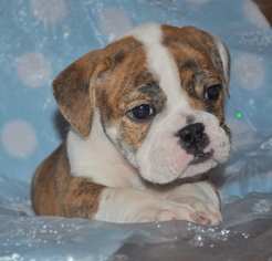 Bulldog Litter for sale in ROYSE CITY, TX, USA