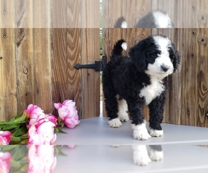 Bernedoodle Litter for sale in CHARM, OH, USA