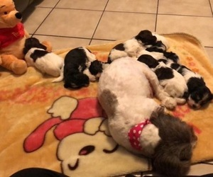 Havanese Litter for sale in CHICAGO, IL, USA
