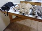 Victorian Bulldog Puppy For Sale in KILLEEN, TX, USA